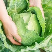 古代ローマでは薬草だった⁉キャベツの健康効果