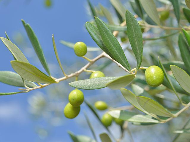 その効果はオリーブオイル以上⁉オリーブ葉の恵みで健やかに